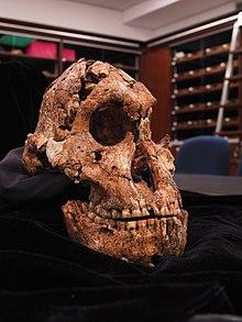 cranio-fossile